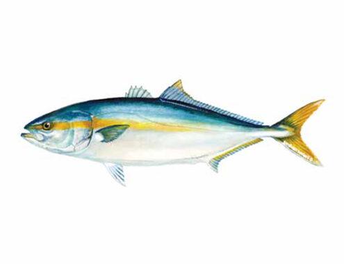 Yellowtail is In sagittis mauris eget velit semper porta.